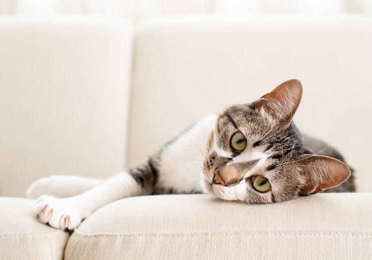 Cute Tomcat