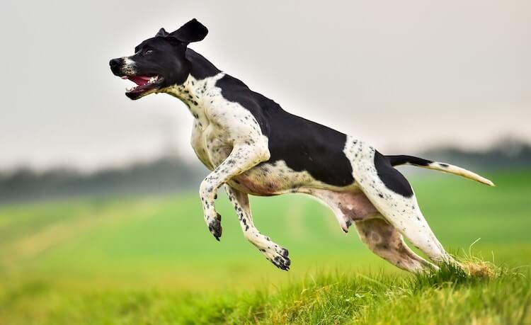 Hunting Dog History