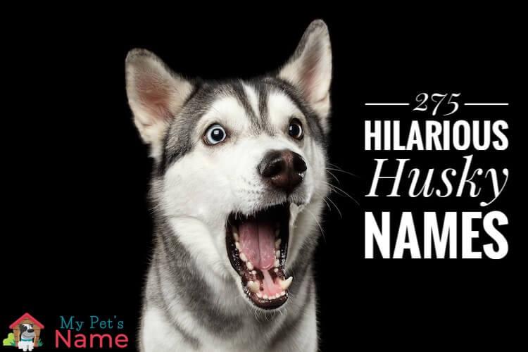 Houdini, Hurricane and Hercules – 275 Hilarious Husky Names – My