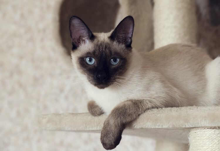 Male Siamese Cat Names