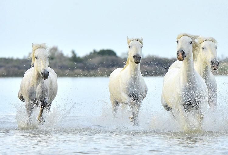 Male White Horse
