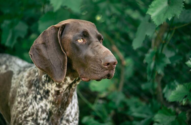Rare Hunting Dog