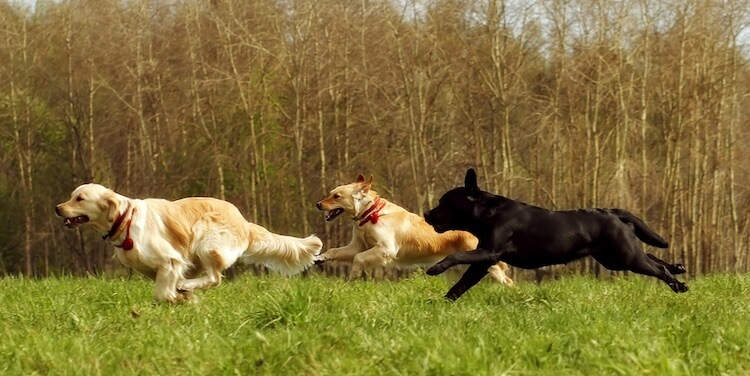 Retriever Hunting Dogs