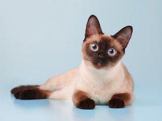 Siamese Cat Names Feature