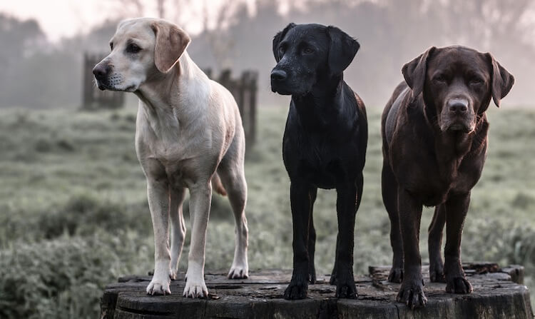 Three Hunting Dogs