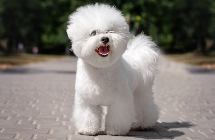 White Spanish Dog