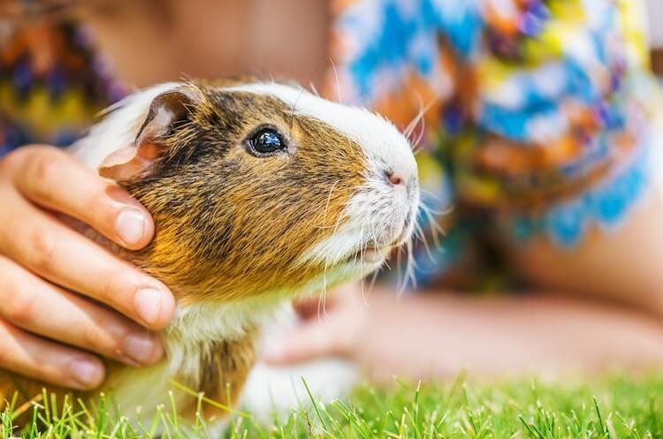 Best Guinea Pig Names