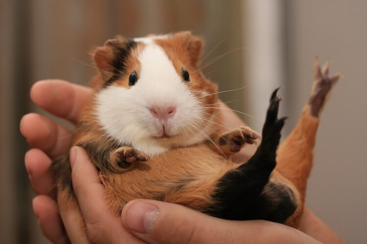 Good Guinea Pig Names