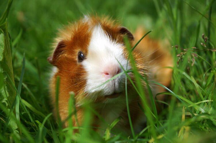 Guinea Pig Portrait
