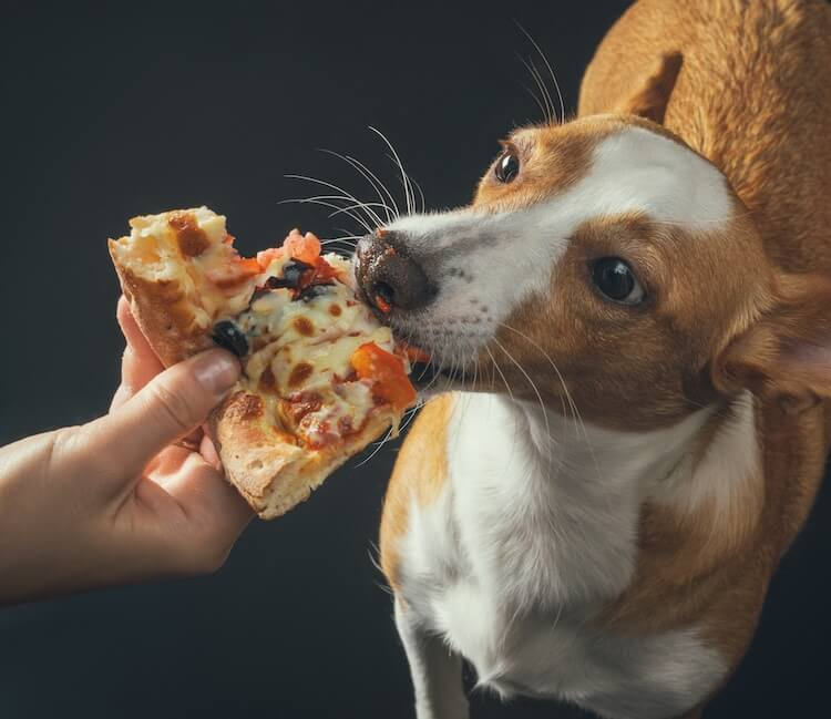 Italian Dog Eating Pizza