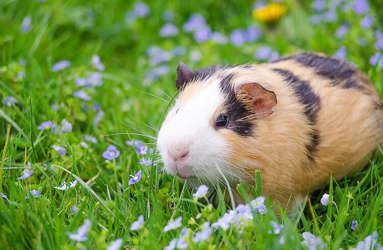 Names for a Pet Guinea Pig