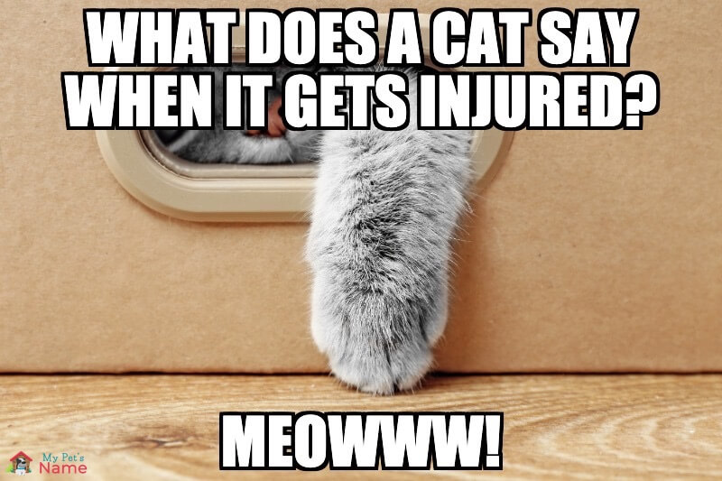 What does a cat say when it gets injured? MeOWWW!