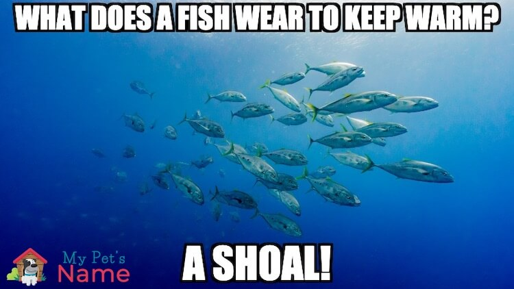 What does a fish wear to keep warm? A shoal!