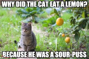 Why did the cat eat a lemon? Because he was a sour-puss