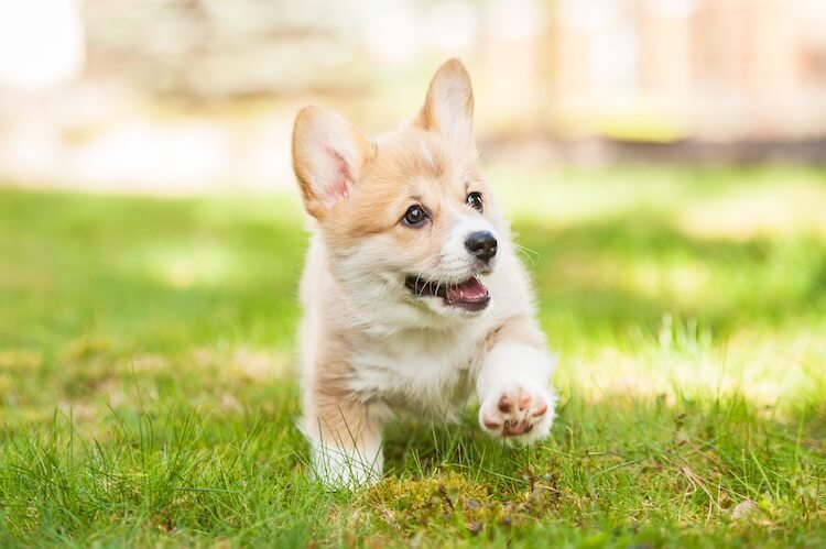 Corgi Dog Names