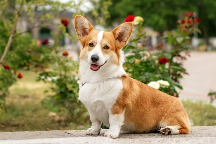 Female Corgi Names