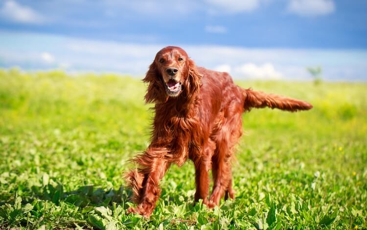 Irish Setter Dog Names