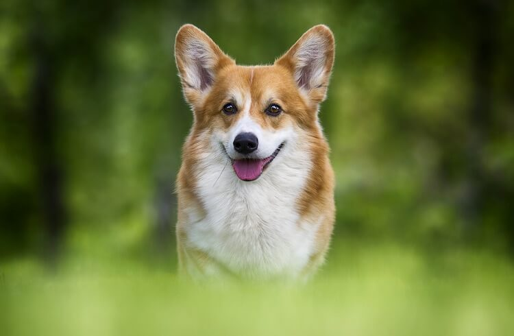 Male Corgi Names