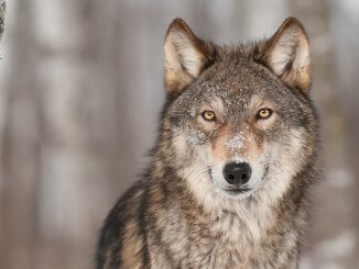Names That Mean Wolf Feature