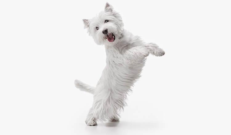White Dog Standing