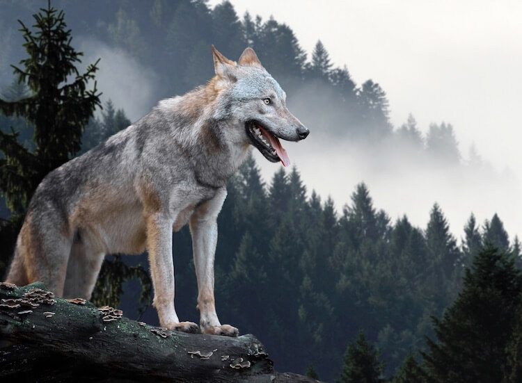 Wolf In The Mountains