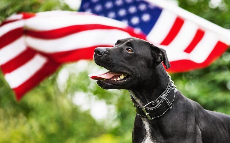 American Pitbull Dog