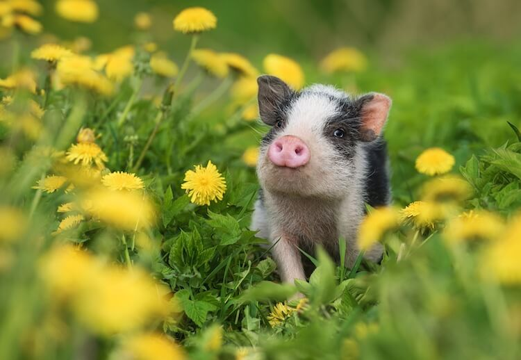 Pig Names: 300+ Funny, Cute & Best Names For A Pet Piglet