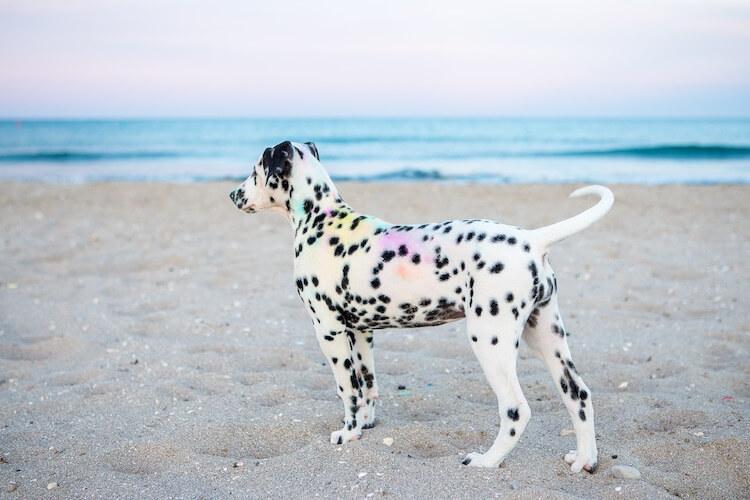 Best Dalmatian Names