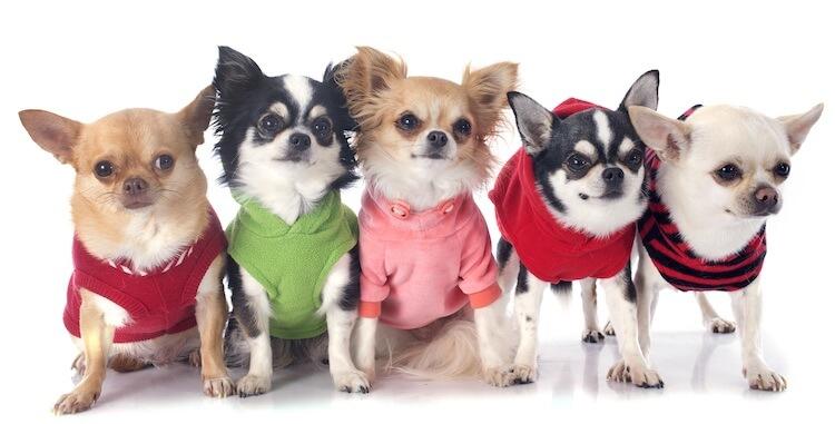 Chihuahua Puppy Names