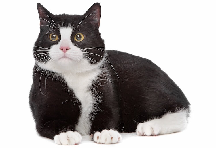 300+ Black and White Cat Names: Oreo, Panda, Patch & More