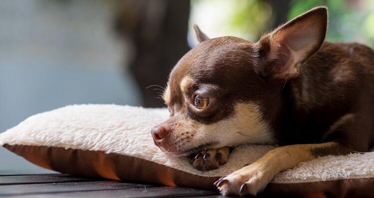 Perfect Chihuahua