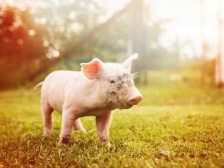 Pig Names Feature