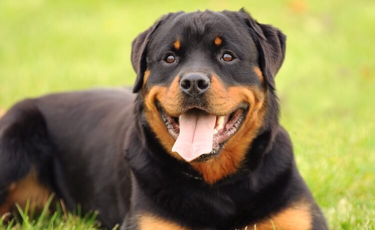Powerful Rottweiler Dog