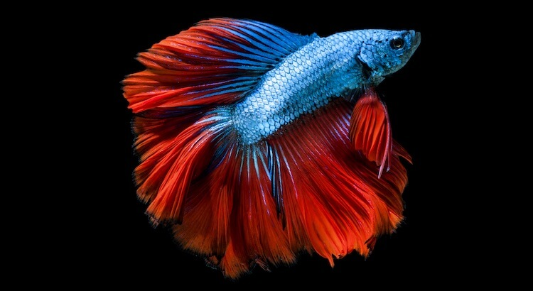 Blue & Red Betta Fish