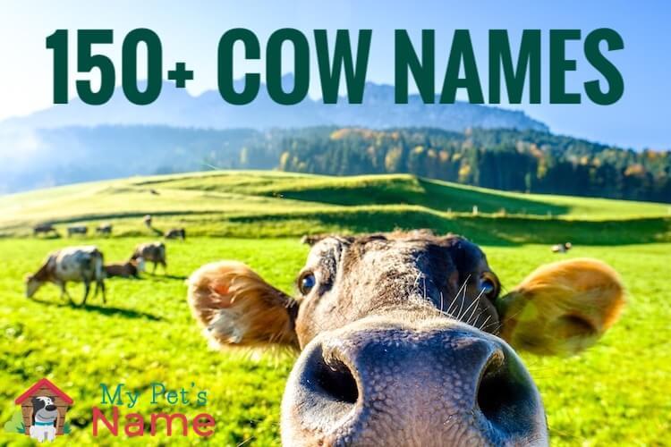 Cow Names