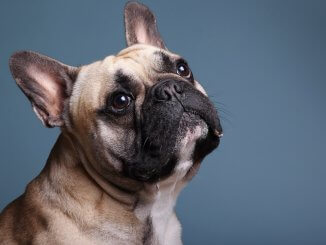 French Bulldog Names Feature