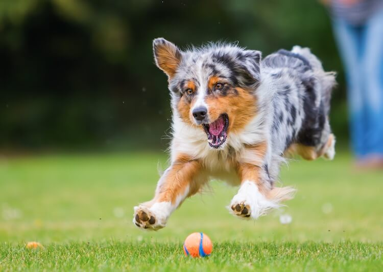 Good Australian Shepherd Names