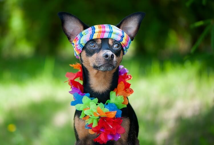 Male Hawaiian Dog