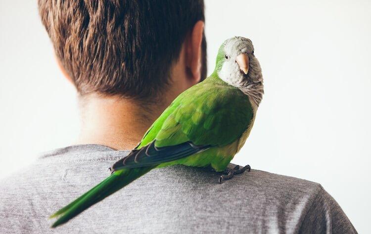 Female Bird Resting on Man's Shoulder