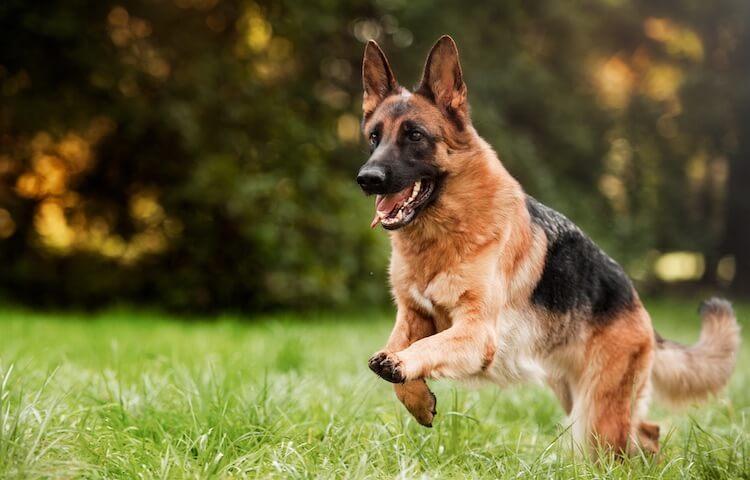 Female German Shepherd Dog
