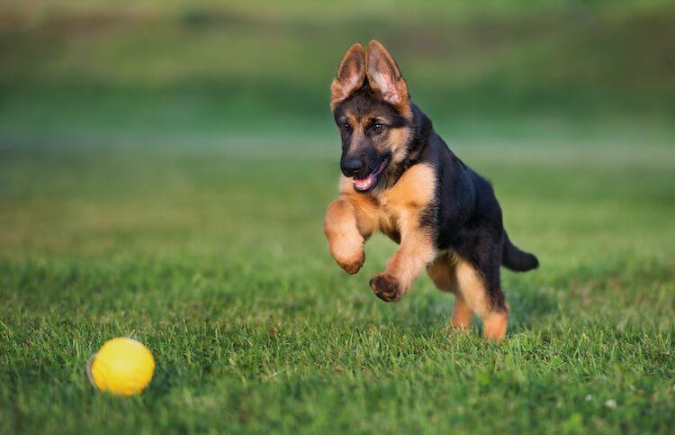 Female German Shepherd Puppy Names