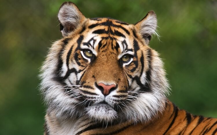 Indian Tiger Face