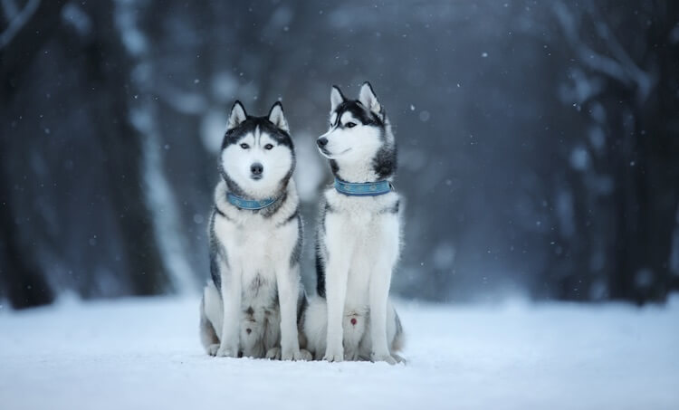 Male Siberian Husky Names