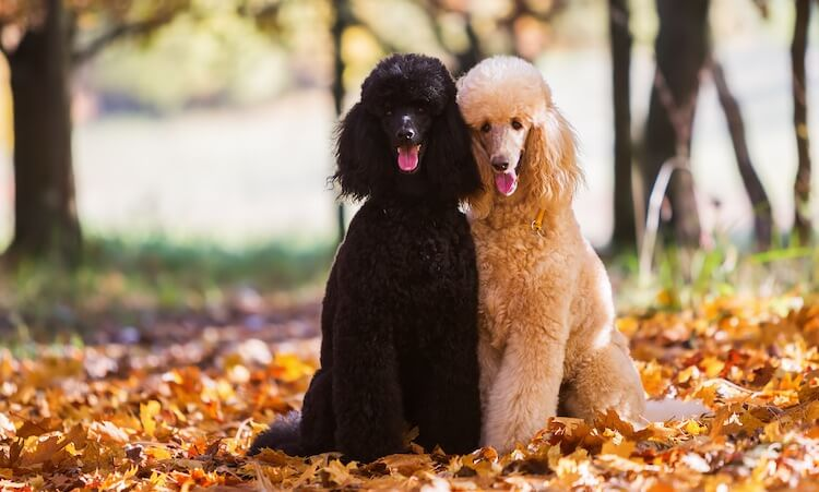 Pair Of Poodle Dogs