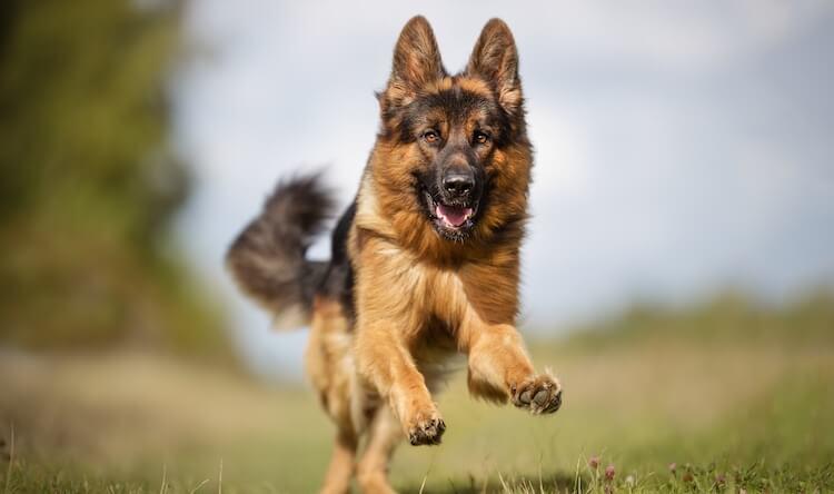 Powerful Shepherd Dog