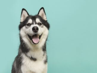 Siberian Husky Names Feature