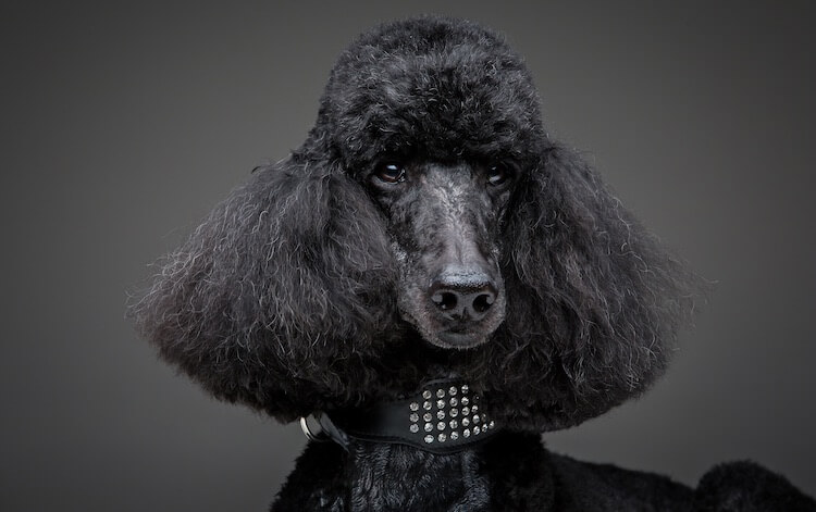 Standard German Poodle
