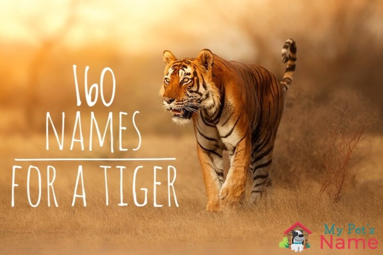 Tiger Names The A To Z Of 160 Terrific Terrifying Names For A Tiger My Pet S Name