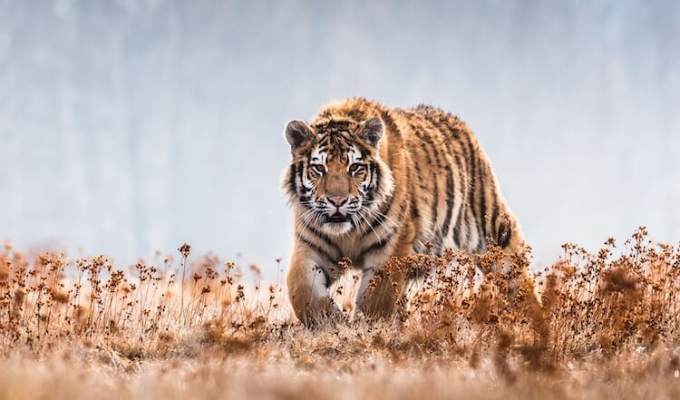 Tiger in the Desert