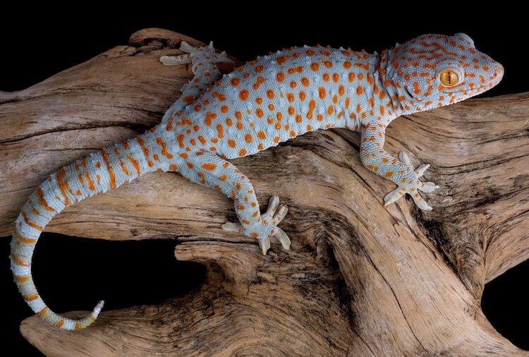 Badass Gecko